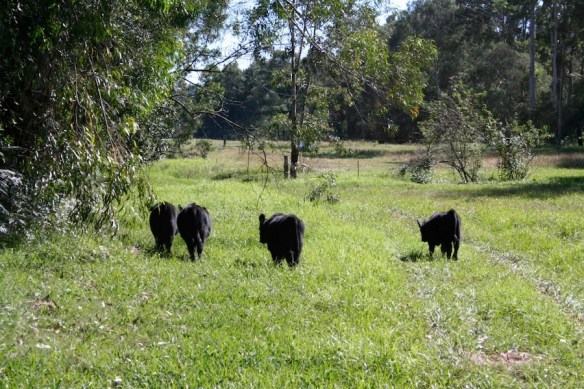 our lowline steers