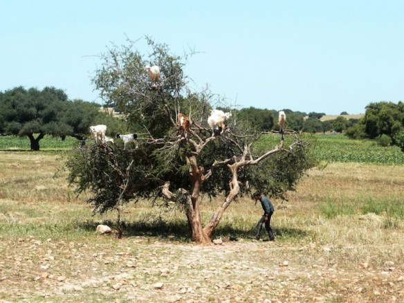 Argan tree with goats