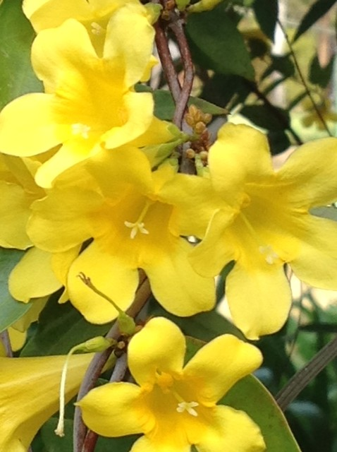 Yellow bell flowers on Carolina jasmine