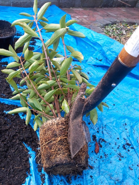 Sometimes more serious methods are required to correct pot bound roots, can you dig it?