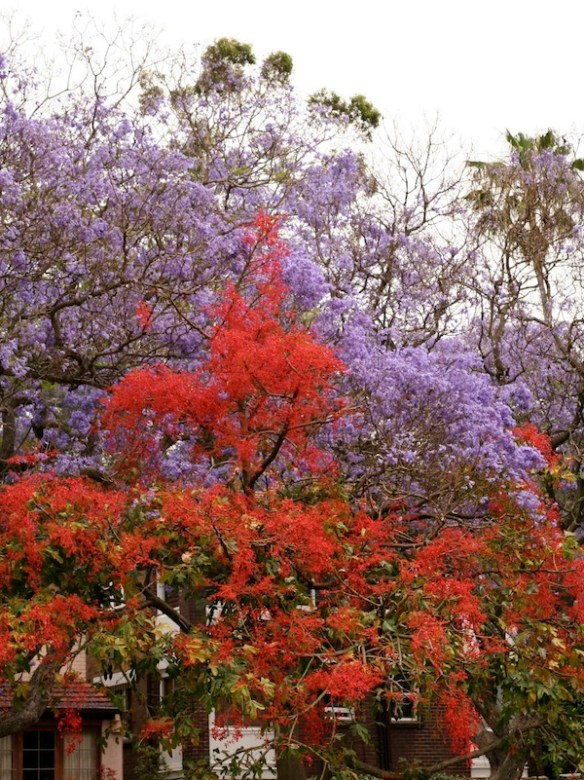 Illawarra flame tree with jacaranda, Sydney