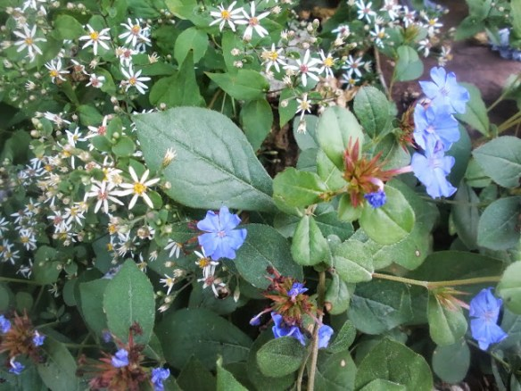 blue plumbago and white heart leafed aster
