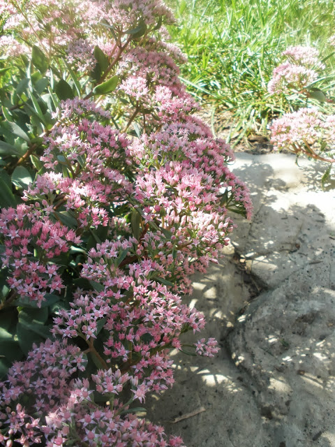 Sedum around the stepping stones
