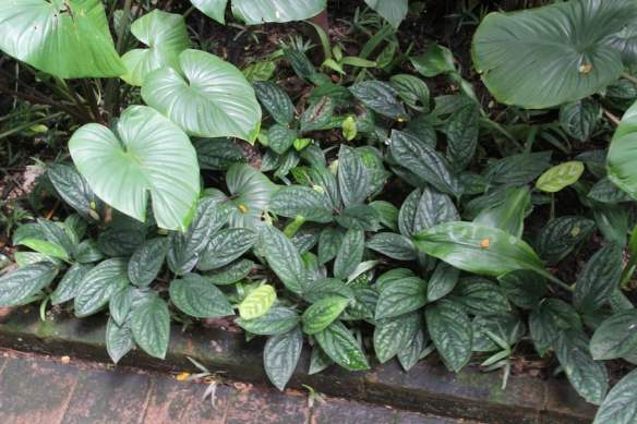 Anthurium radicans makes a great groundcover