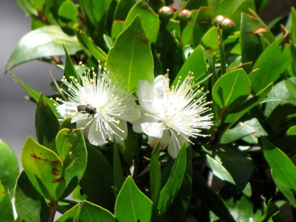 A myrtle hedge in flower