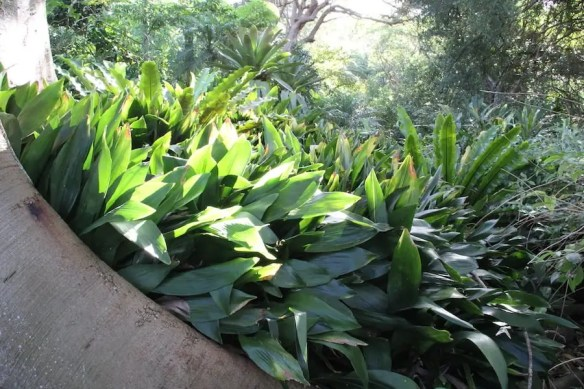 Aspidistra elatior forming large clumps at Bronte House
