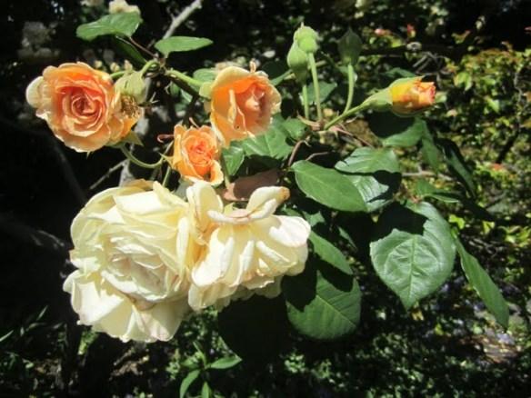 Buff Beauty, with many close-set petals