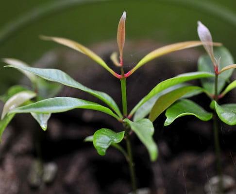 Clove seedling Photo by Snowcatcher