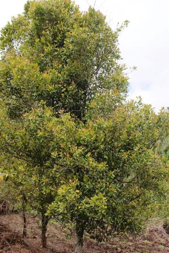Clove tree. Photo by Midori