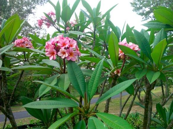 Frangipani pink tree