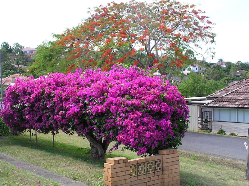 How to grow bougainvillea gardendrum for Pianta bouganville