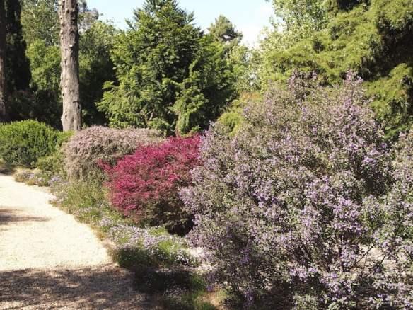 Leptospermum, both Australian and New Zealand with purple mintbush (Prostanthera)