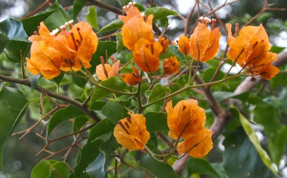 Orange bougainvillea - flowers develop on short, well-managed growth