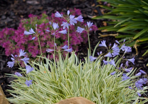 PMA Agapanthus 'Golden Drop'