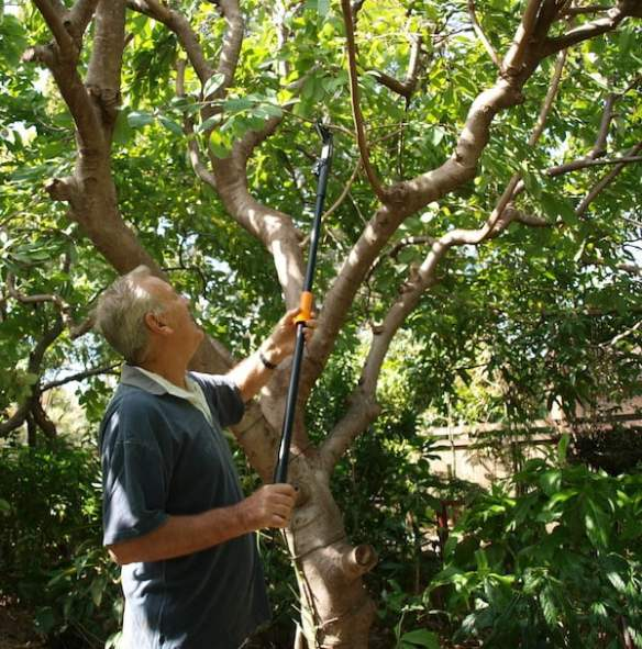 Using my Fiskars telescopic pruner