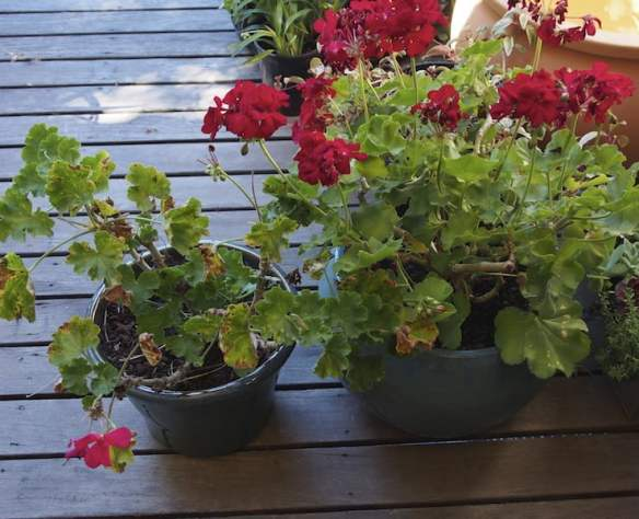 Pelargonium Big Pink (left) and Big Red (right). As if you couldn't tell...