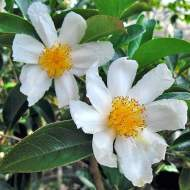 Camellia crapnelliana from Plant Things