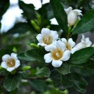 Rothmannia globosa - Tree Gardenia from Kerry Mitchell
