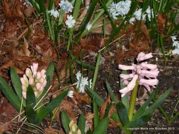 Blue Puschkinia & pink hyacinths
