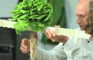 Aeroponic lettuce from CombaGroup