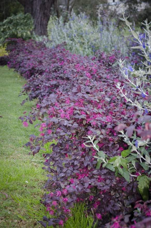 Colourful hedge of Loropetalum 'Plum Gorgeous'