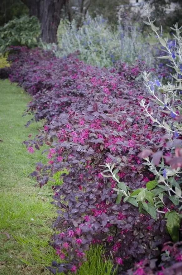 Colourful hedge of Loropetalum 'Plum Gorgeous'