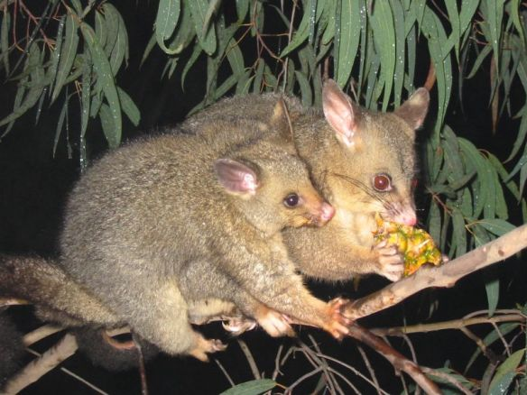 Brushtail possums. Photo by PDH