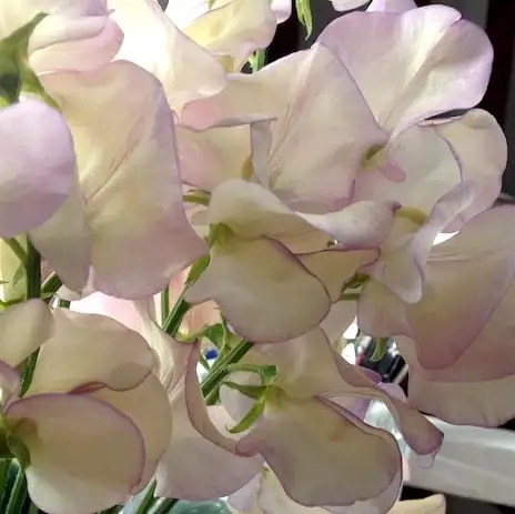 Lathyrus.odoratus.'High.Scent' copy