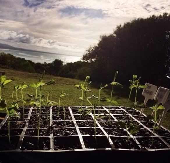 Sweet Pea seedlings in coastal sun