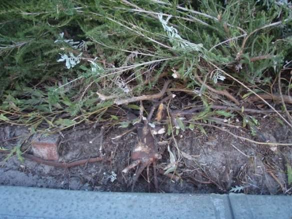 roots of Eucalyptus caesia