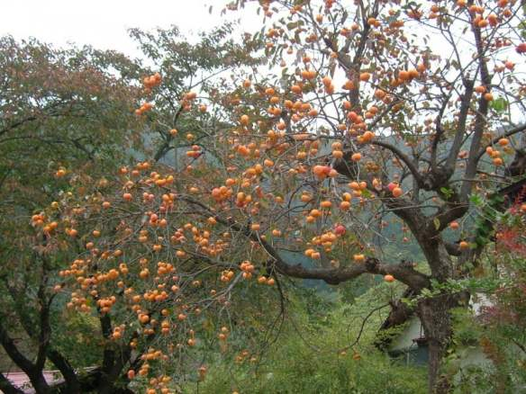 Persimmon tree Photo Geomr