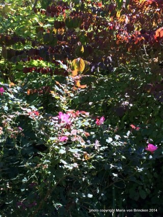 Rosa 'Knock Out' deep pink with fall foliage color Viburnum 'Mariesii'