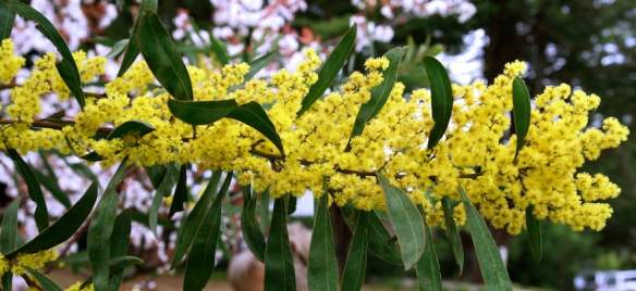 wattle in NSW