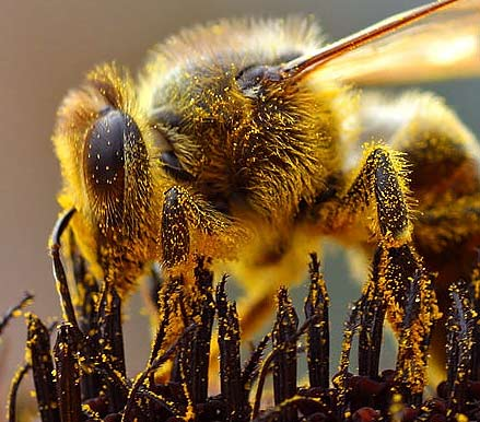 http://commons.wikimedia.org/wiki/File:Bees_Collecting_Pollen_2004-08-14.jpg
