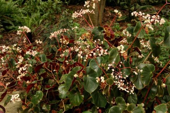 Begonia sanguinea