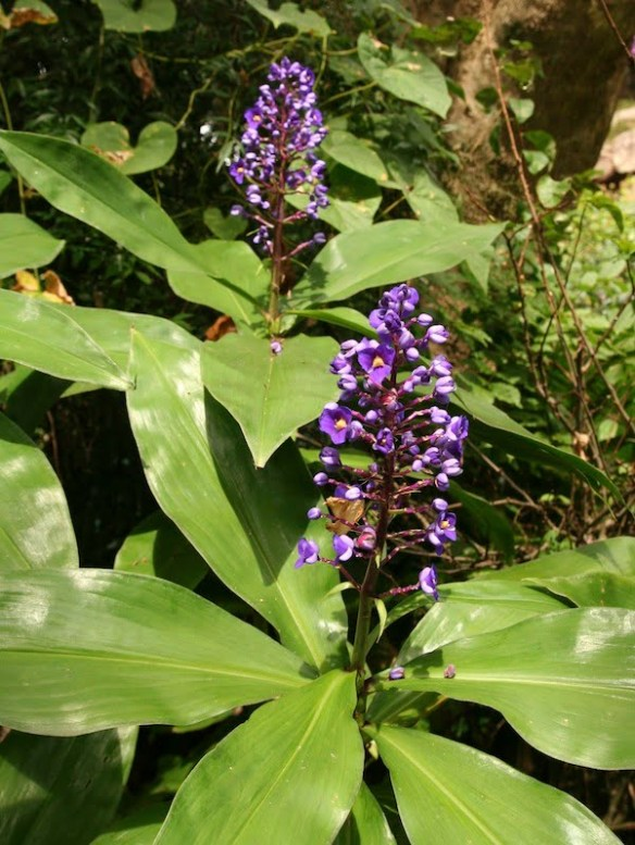 Blue ginger - Dichorisandra thyrsiflora
