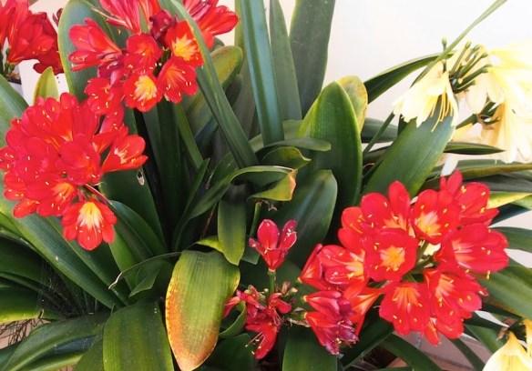 Red clivia hybrid