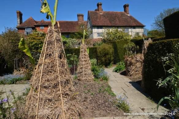 Bananas at Great Dixter, UK, protected by hay