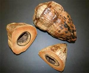Dampier described the taste of coconut in his book. TMM F-164  & F-165.