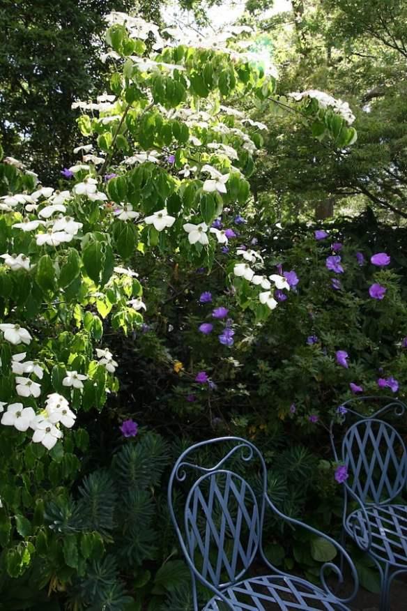 Garden-Design-Fest-Cameron-Paterson-Garden-Cornus