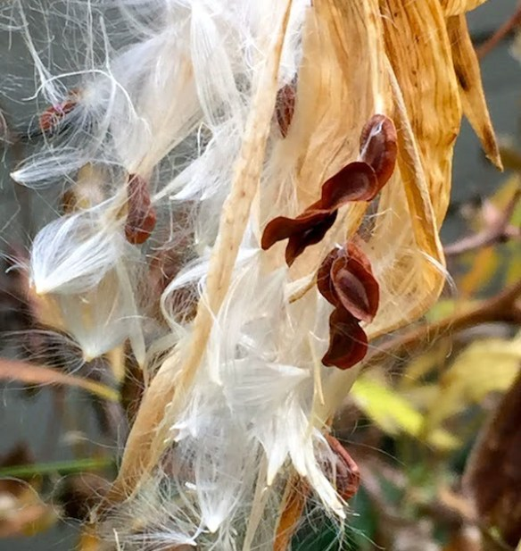 Swamp milkweed going to seed on the boulevard