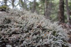 Bryophytes (mosses, liverworts and hornworts)
