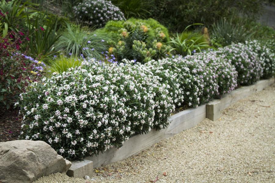 Daphne Eternal Fragrance Hedge 1 Gardendrum