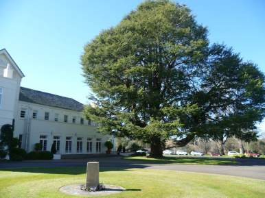 Magnificent cedar, Government House Canberra
