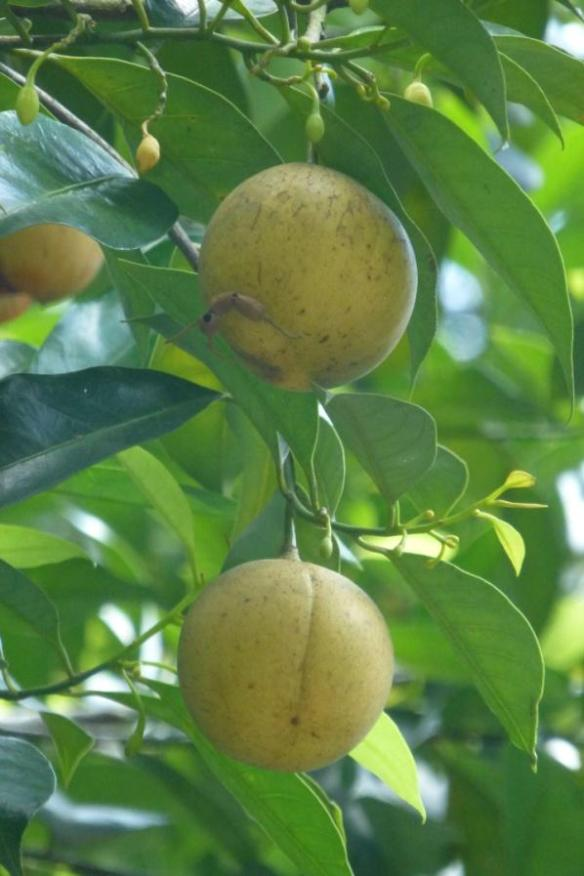 nutmeg (and mace) fruit, Myristica fragrans, Economic Collection