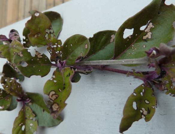 Vitex leaf damage
