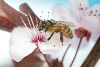 Bee with tracking device. Photo CSIRO