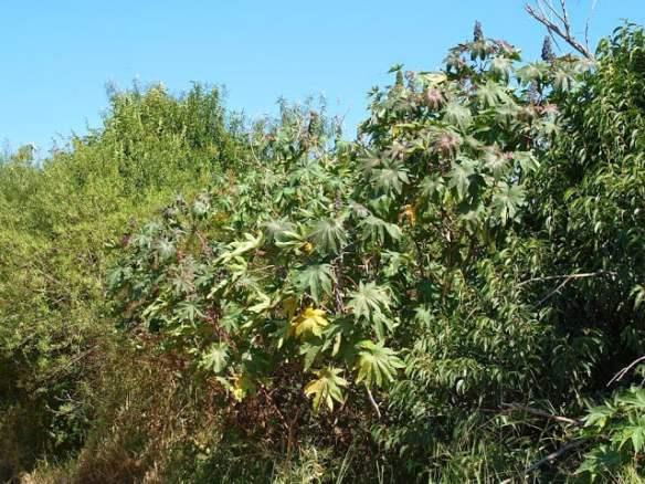Castor oil plant Ricinus communis