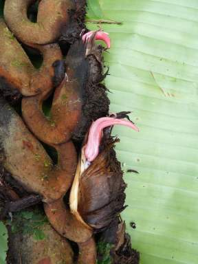 An ugly grownup with cute pink flowers Heliconia rhodantha