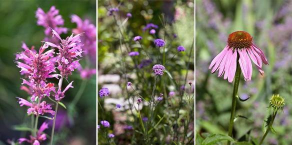 Agastache, verbena and echinacea